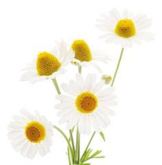 lovely chamomile flower